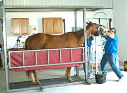 Horse in chute for dental treatment